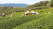 In the Tsuchiyama tea region in Shiga Prefecture, the first picking of first-grade tea begins after the cherry blossoms fall at the end of April. Our supplier of tea allowed […]